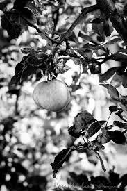 black and white apple tree. apple tree, felseberg black and white tree