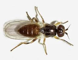Gnat Identification Chart 30 Ways To Get Rid Of Gnats Inside And Outside The House