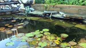 goldfish sing in outdoor turtle pond