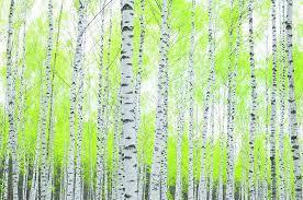 Papermoon Berkenbos Vlies Fotobehang 250x180cm Yourdecorationnl