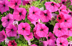 average american flower size petunias how to plant grow and care for petunias the old