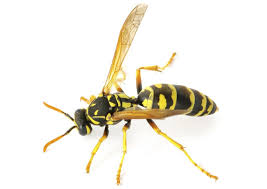 Crazily Interesting Facts about Yellow Jackets