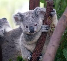 protect fragile koala habitats from destruction forcechange