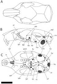 Owl Pellet Skeleton Reconstruction Chart Reconstruction Of The Cranium Of Adjidaumo Minimus Based On