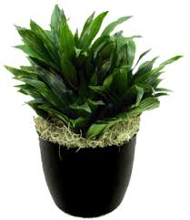 small office plant. janet craig compacta work plant small office 1