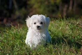 maltese dog. maltese dog names