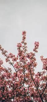 Best Cherry blossom iPhone X HD ...