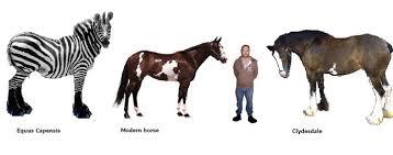 Giant Zebra Defies Horse Evolution Chart Greater Ancestors