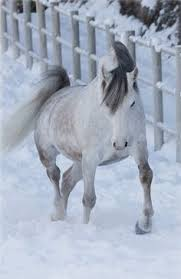 white horses in snow. Delighful Horses Horses In Snow White Horses Gray Horse Dapple Grey Horse Love Snow