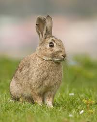European rabbit - Wikipedia