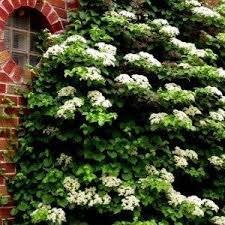 Wall Climbing Plants For Shade