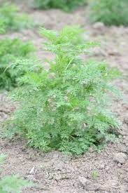 artemisia annua. artemisia annua, artemisinin, acts and malaria control in africa: the interplay of tradition, science public policy annua