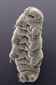 tardigrade actual size absurd creature of the week the incredible critter thats tough