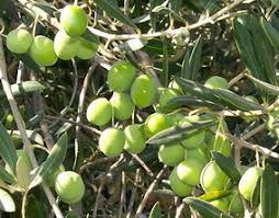 Image result for olive trees israel