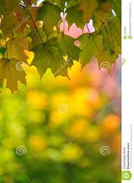 Change Background Of Pic Fall Leaf Change Maple Foliage Background Stock Photo