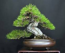 why not to buy bonsai bought bonsai tree