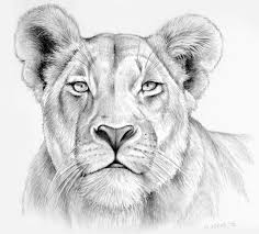 lioness face drawing. Modren Lioness Lioness In Pencil By Gregchapindeviantartcom On DeviantART On Face Drawing