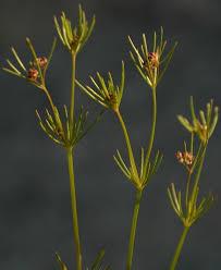 Galium setaceum Lam. | Flora of Israel Online