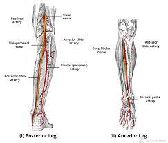 Arteries Of The Lower Limb Thigh Leg Foot Teachmeanatomy