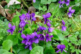 Violet Color Wikipedia