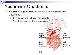 What point is used to visualize the quadrants? Human Anatomy Introduction N Anatomical Position A Common