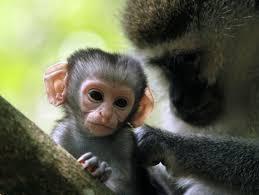 baby vervet monkey. baby vervet monkey y