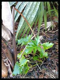 philodendron pruning image of small split leaf philodendron outdoors philodendron pruning in winter