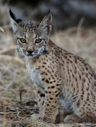 lynx size 18 best lynx lineage images on pinterest lynx big cats and wild