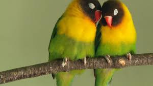 love bird colorful parrot hd wallpapers 1