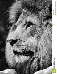 lion portrait black and white. Plain Black Download High Contrast Black And White Of A Powerful Male Lion Face Stock  Photo  Image On Portrait R