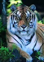 Hd Tiger Backgrounds on WallpaperSafari