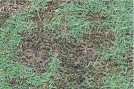 Grass Disease Identification Anco Turf