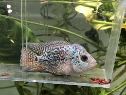 Aquarium Design For Flowerhorn Super Pearl King Kamfa Flowerhorn Cichlids Freshwater