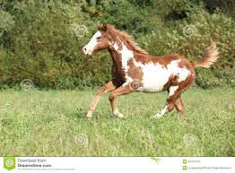 paint horses running in a field. Delighful Paint Nice Paint Horse Foal Running In Autumn On Paint Horses Running In A Field