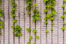 Ivy Hedera  My Perfect GardenWall Climbing Plants