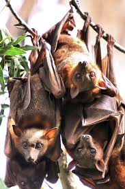 Bat Species Chart Megabat Wikipedia
