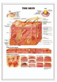 Hackman Promotional Solutions 3d Anatomical Chart The Skin