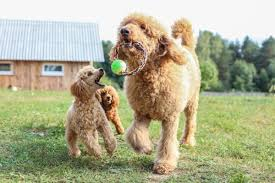 Types Of Poodle Sizes And Mixes With Photos
