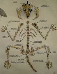 Owl Pellet Skeleton Reconstruction Chart Owl Pellet Lab Report
