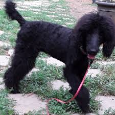 hi my name is sasha i am a black 6 month old standard poodle puppy born 11 15 18 i am friendly cute soft cuddly and irresistible