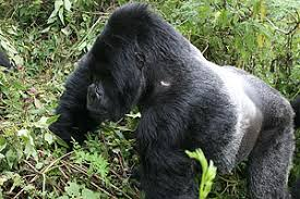 symbiotic relationships mountain gorillas and their human guides a symbiotic relationship