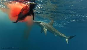 hammerhead shark bite. Perfect Bite Hammerhead Enjoys Some Fresh Ahi In Shark Bite D