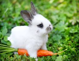 royalty free white rabbit pictures