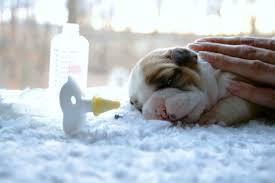 Bottle Feeding Puppy Chart How To Bottle Feed Newborn Bulldog Puppies