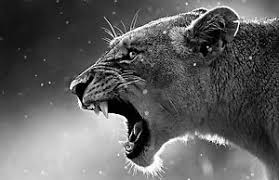 lioness black and white. Simple Lioness Image Is Loading FramedPrintRoaringBlackampWhiteLionessPicture Intended Lioness Black And White O