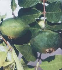Resultado de imagem para imagens de receita de CAMBUCU
