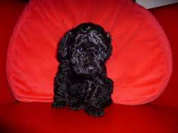 lhasa poo pictures