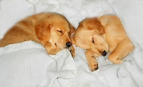 golden retriever puppies sleeping. Fine Puppies Golden Retriever Photograph  Dog Puppies Sleeping By  Jennie Marie Schell In