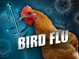 Image result for 2 million more Minnesota chickens to be killed due to bird flu and 25 million hens may be lost