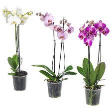 Risultati immagini per orchidea